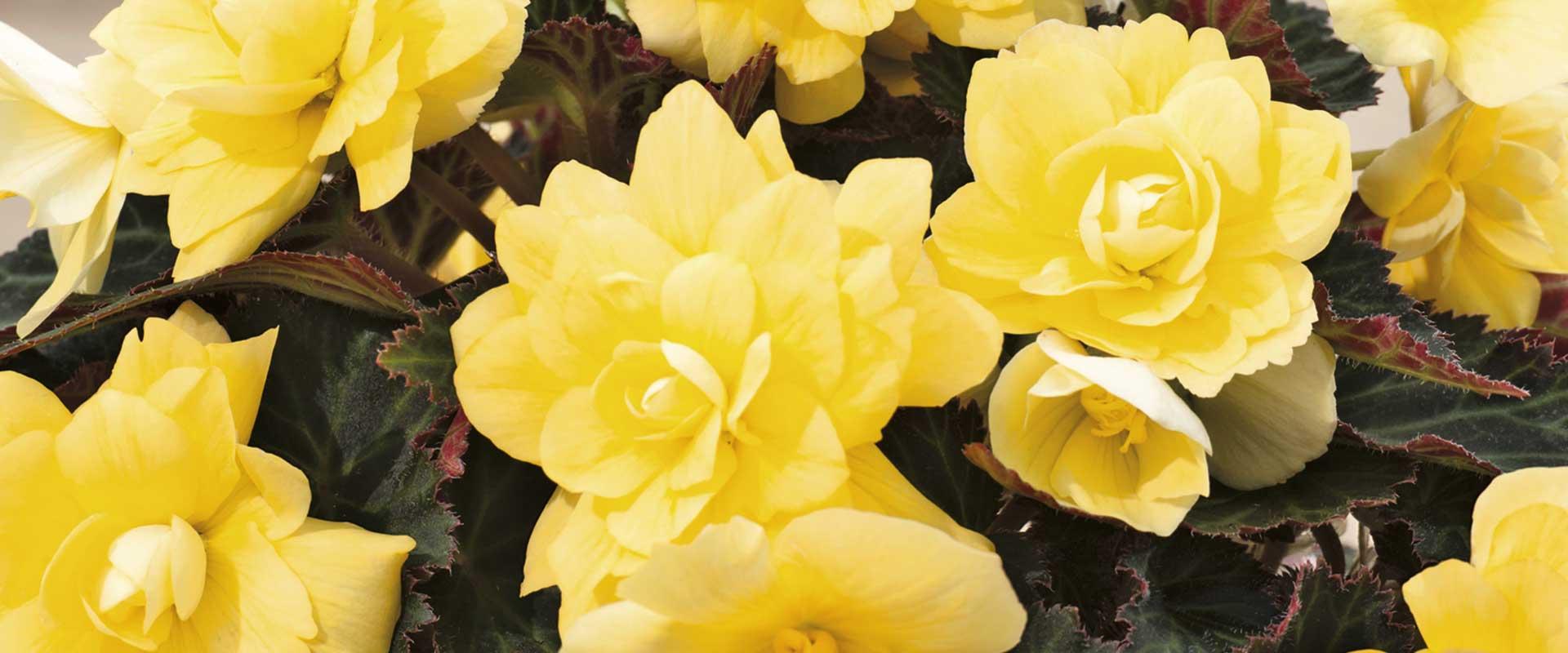 Plantes à fleur