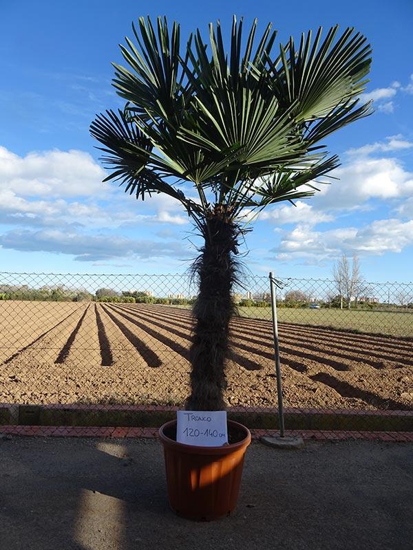 Trachycarpus fortunei M80