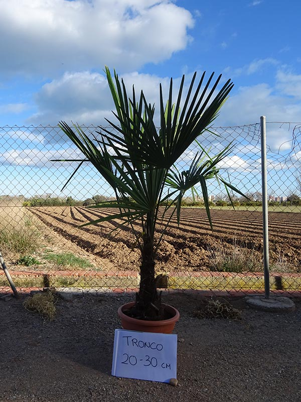 Trachycarpus fortunei M15