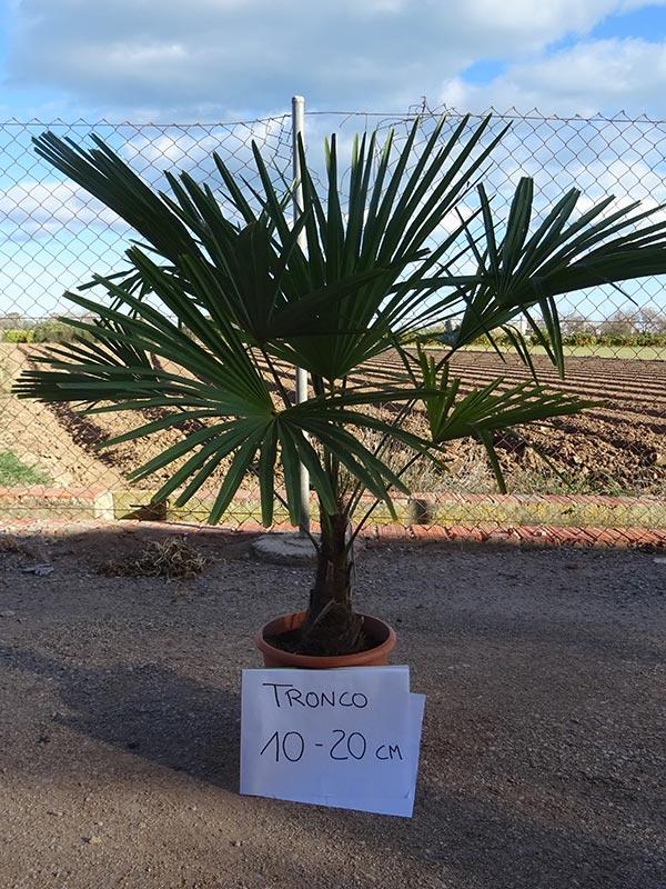 Trachycarpus fortunei M10
