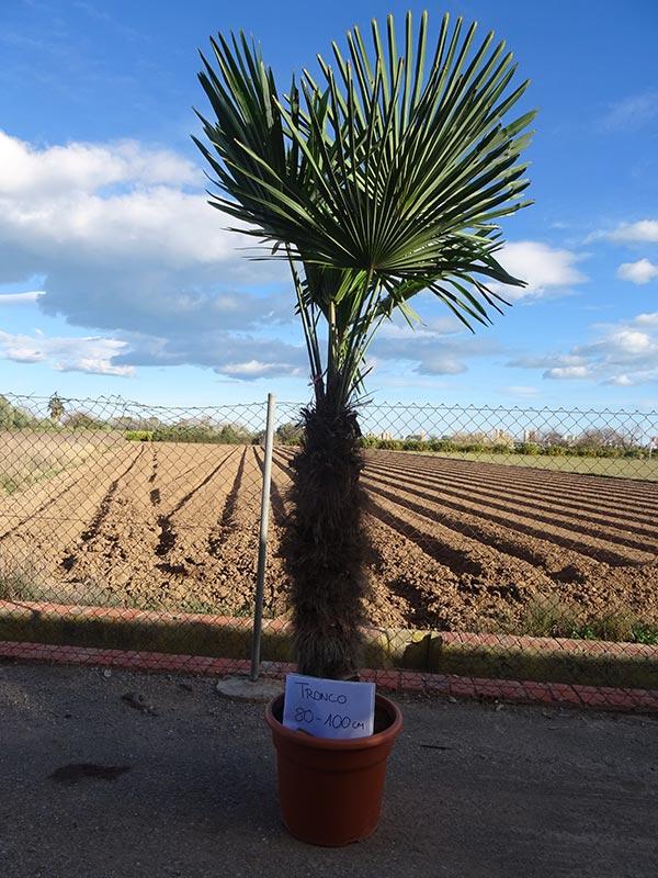 Trachycarpus fortunei M45