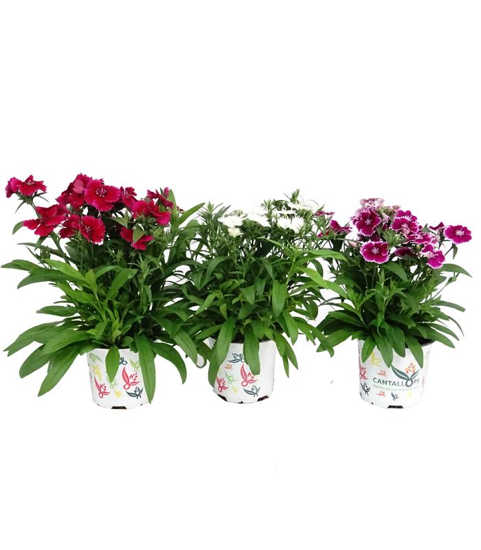 Dianthus chinesis M10