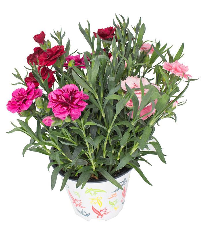 Dianthus selecta (tricolor) M14