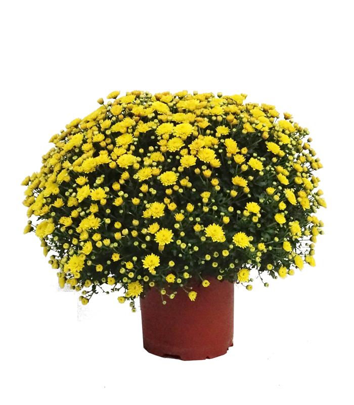 Chrysanthemum (bola) M19