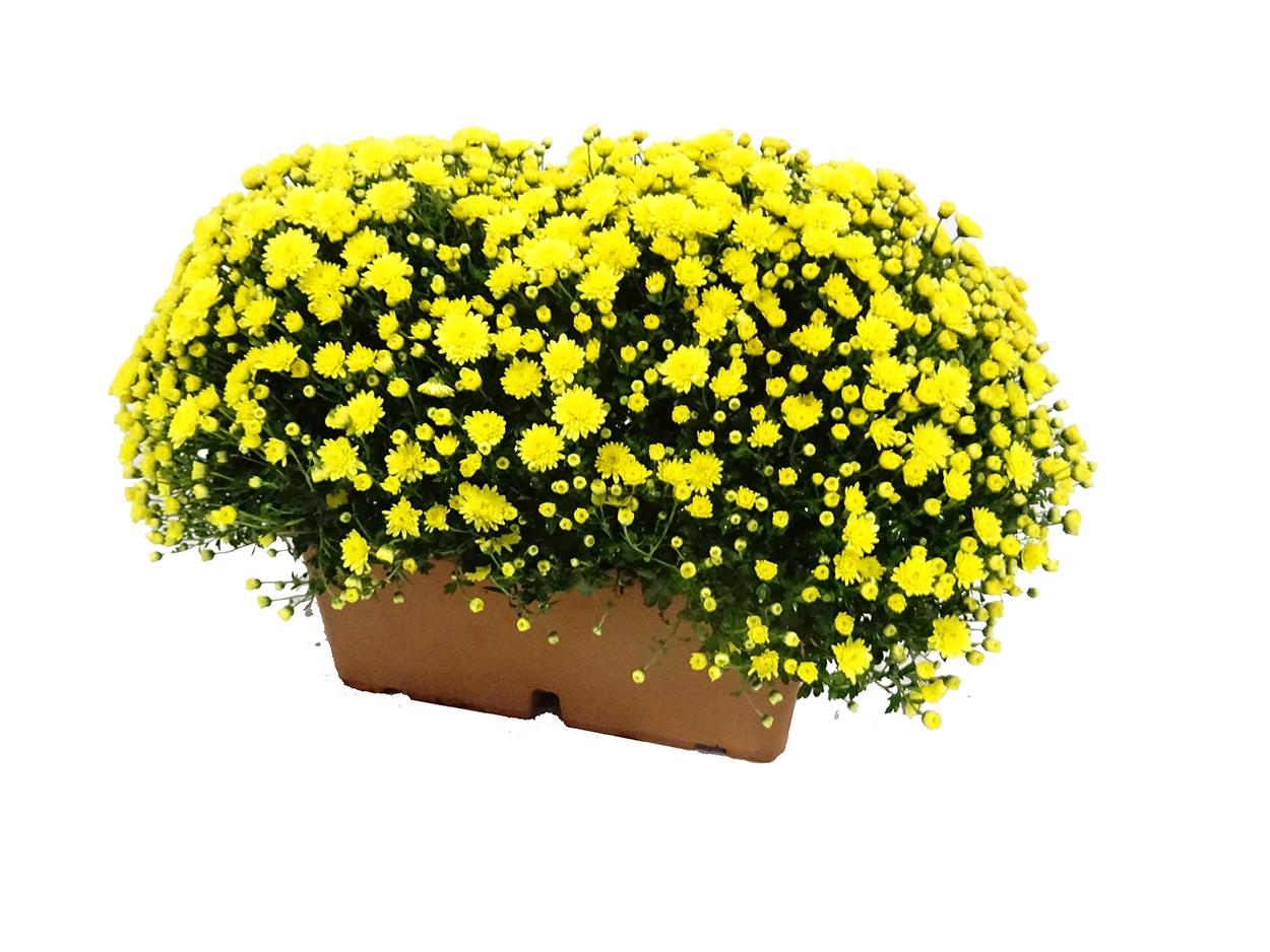 Chrysanthemum (jardinera) M40