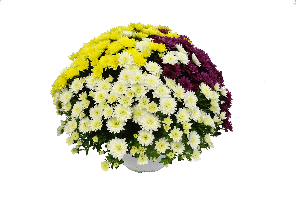 Chrysanthemum (tarrina) M21