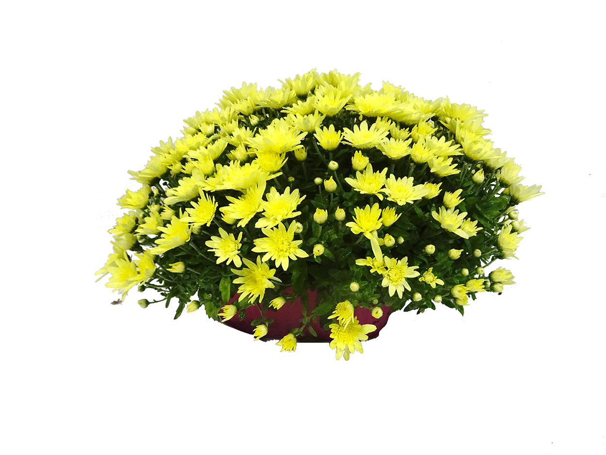 Chrysanthemum (jardinera) M25