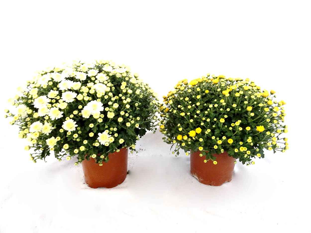 Chrysanthemum (bola) M15