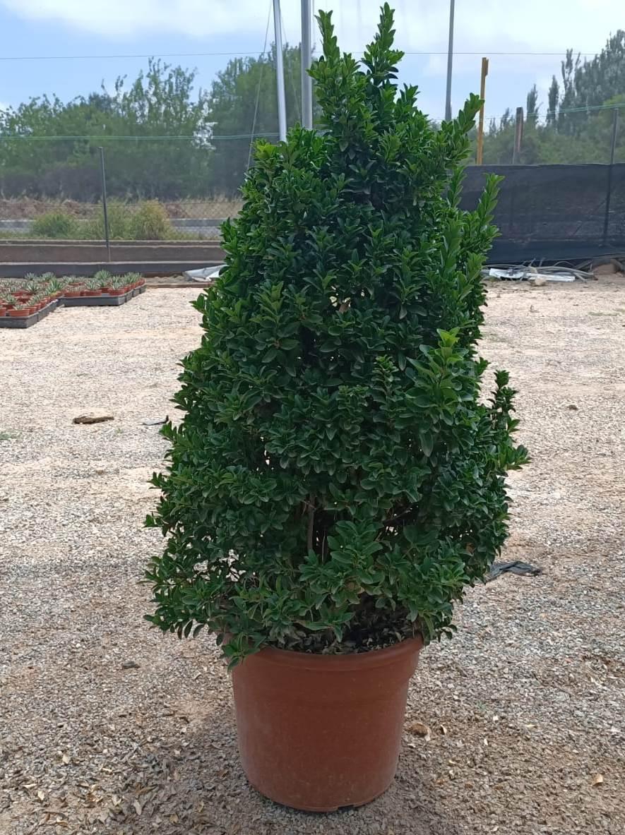 Euonymus verde compacta 20L