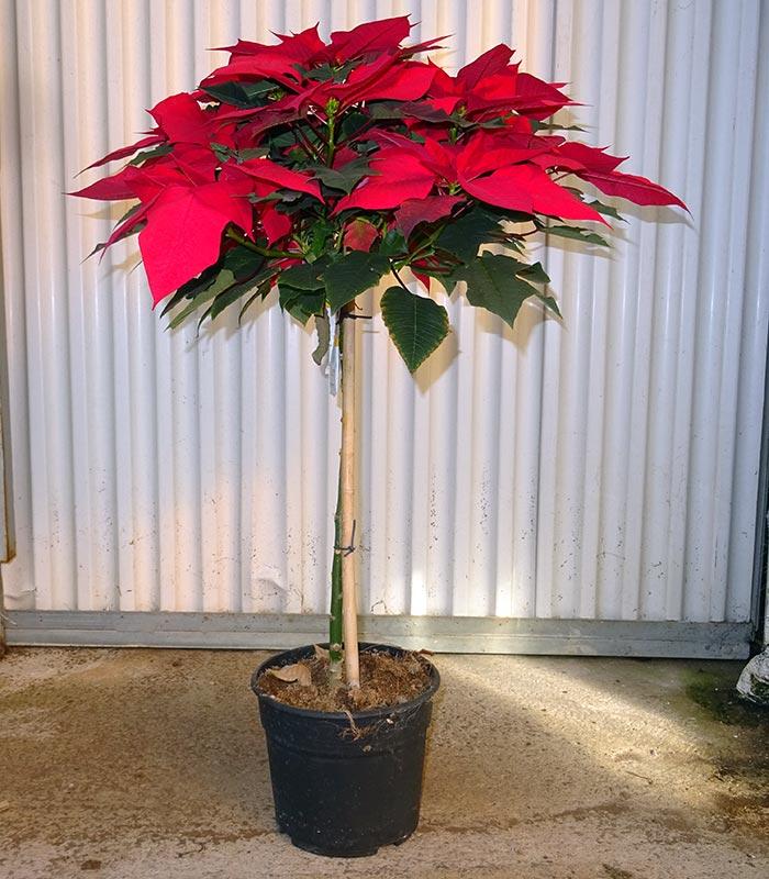 Poinsettia M21 (árbol)