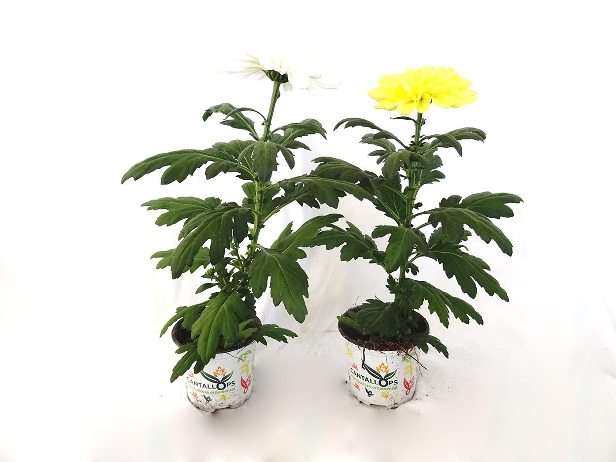 Chrysanthemum 'Zembla' M10