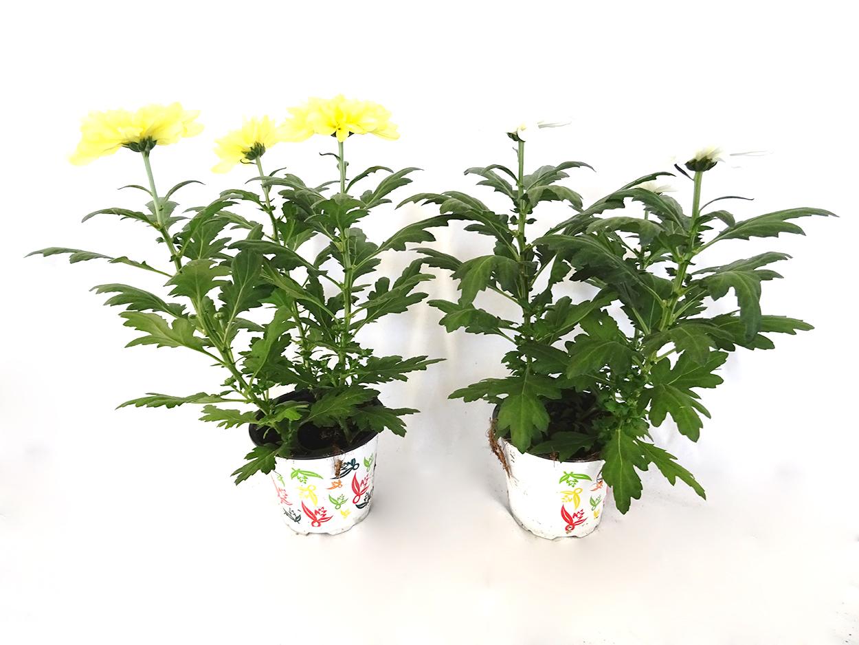 Chrysanthemum 'Zembla' M14